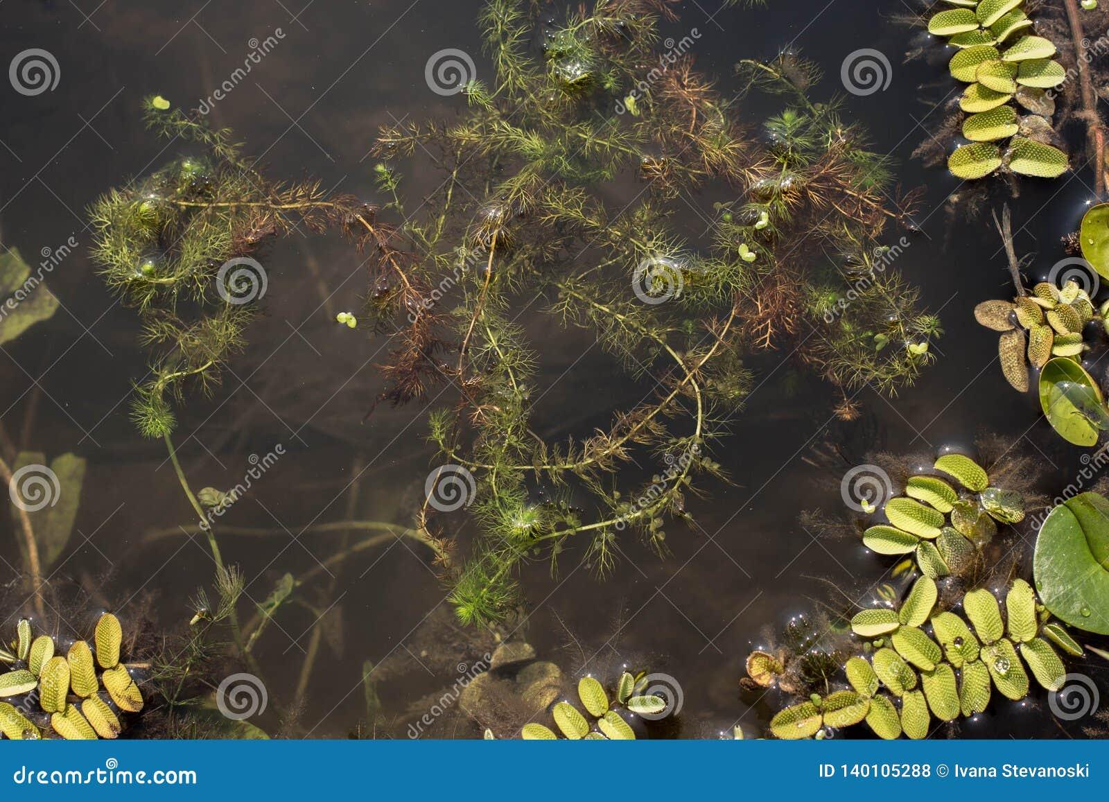 1 Carnivorous Bladderwort Plant Utricularia Vulgaris