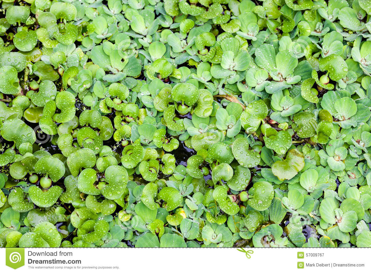 Floating plants stock photo image 57009767 for Floating pond plants