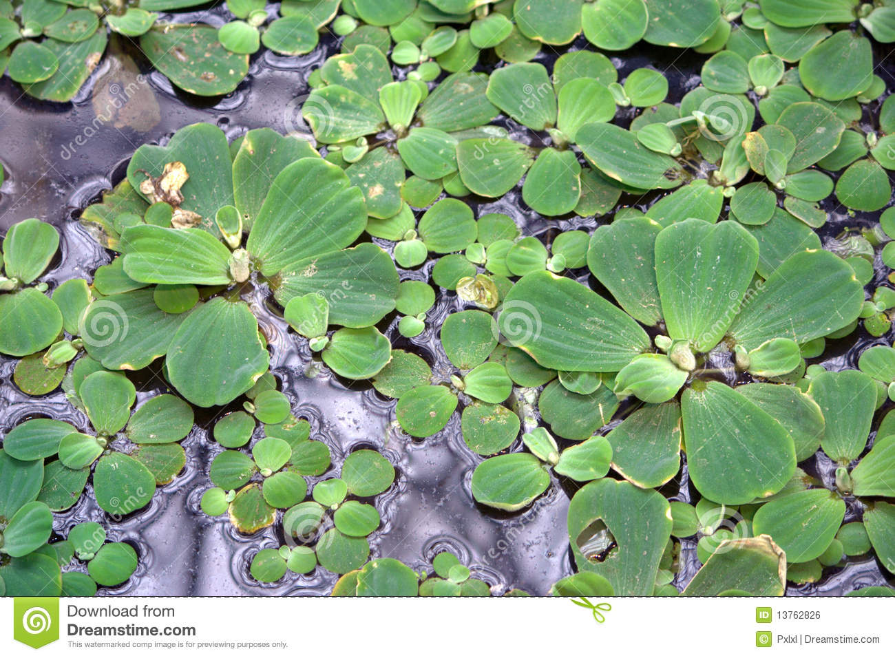Floating plants on a pond stock photo image of lentils for Floating pond plants