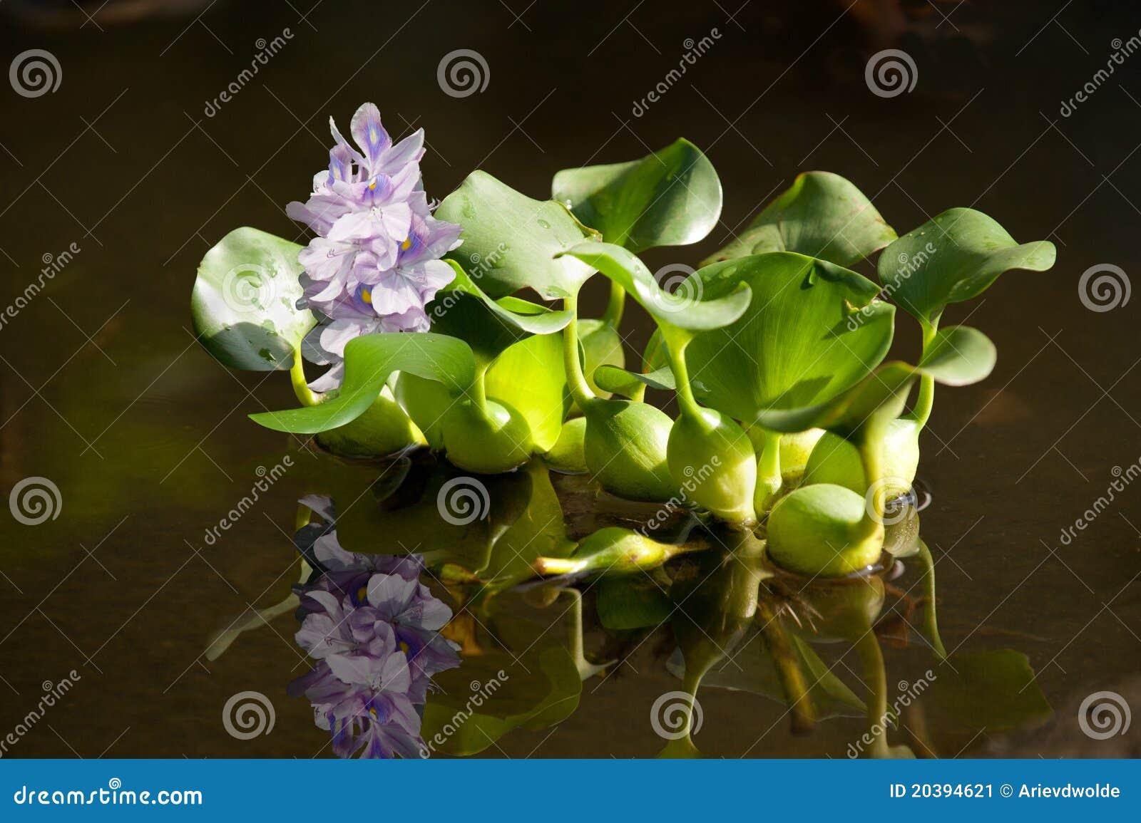 Floating water hyacinth
