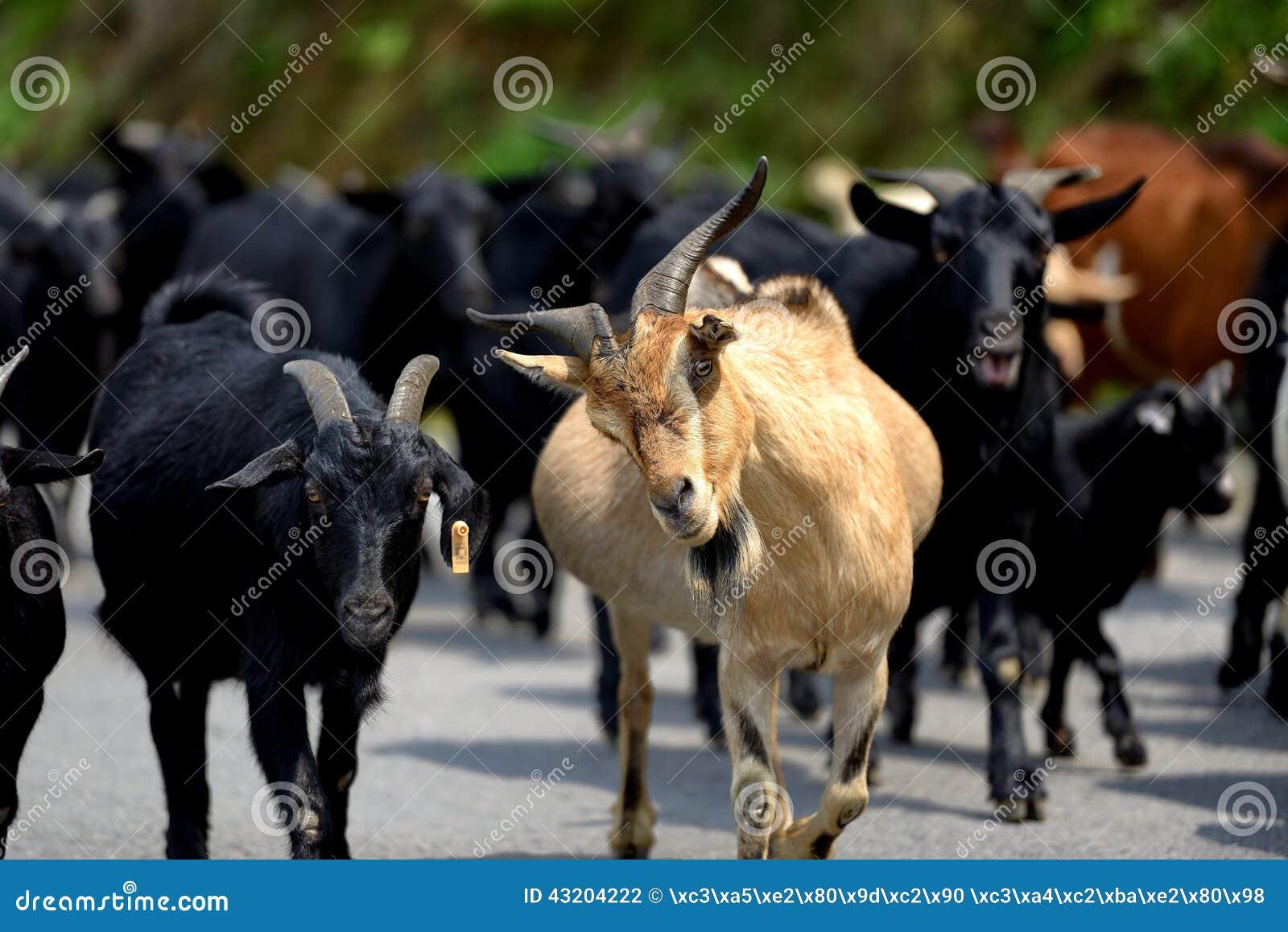 Download Flock arkivfoto. Bild av mycket, mött, flock, yellow - 43204222