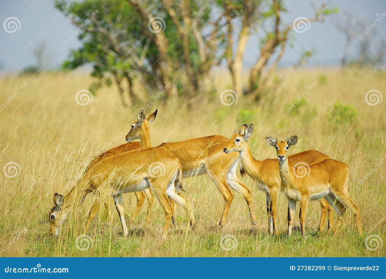Flock av antilopen