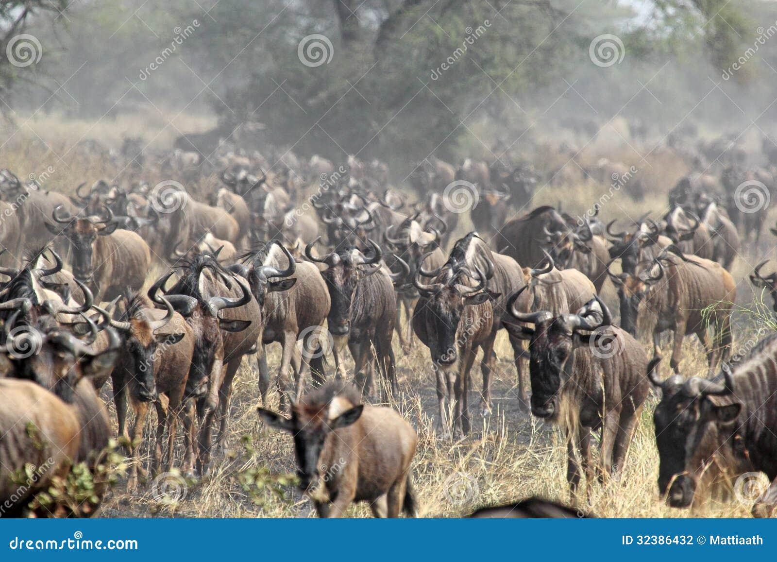Flock av blåa gnu under den stora flyttningen