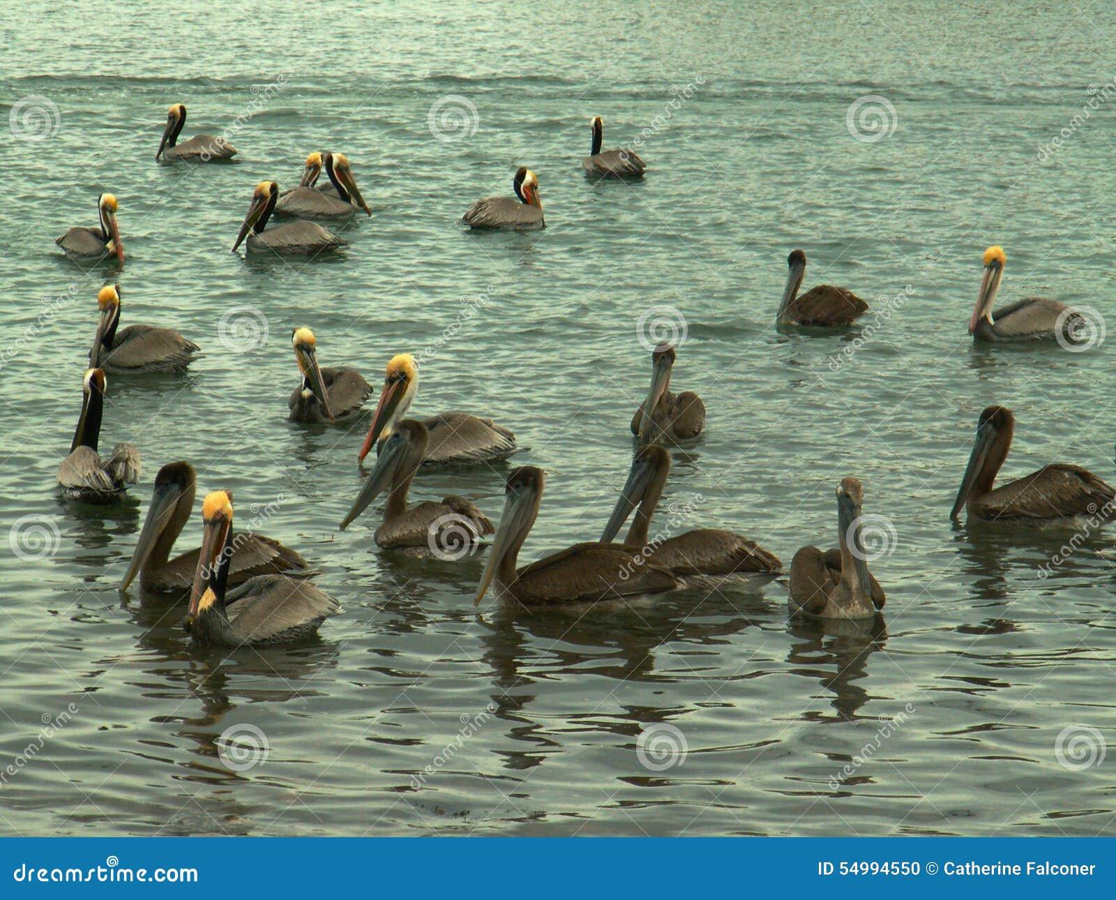 Flock av bruna pelikan på golfen av Kalifornien, nära Mulege, Mexico