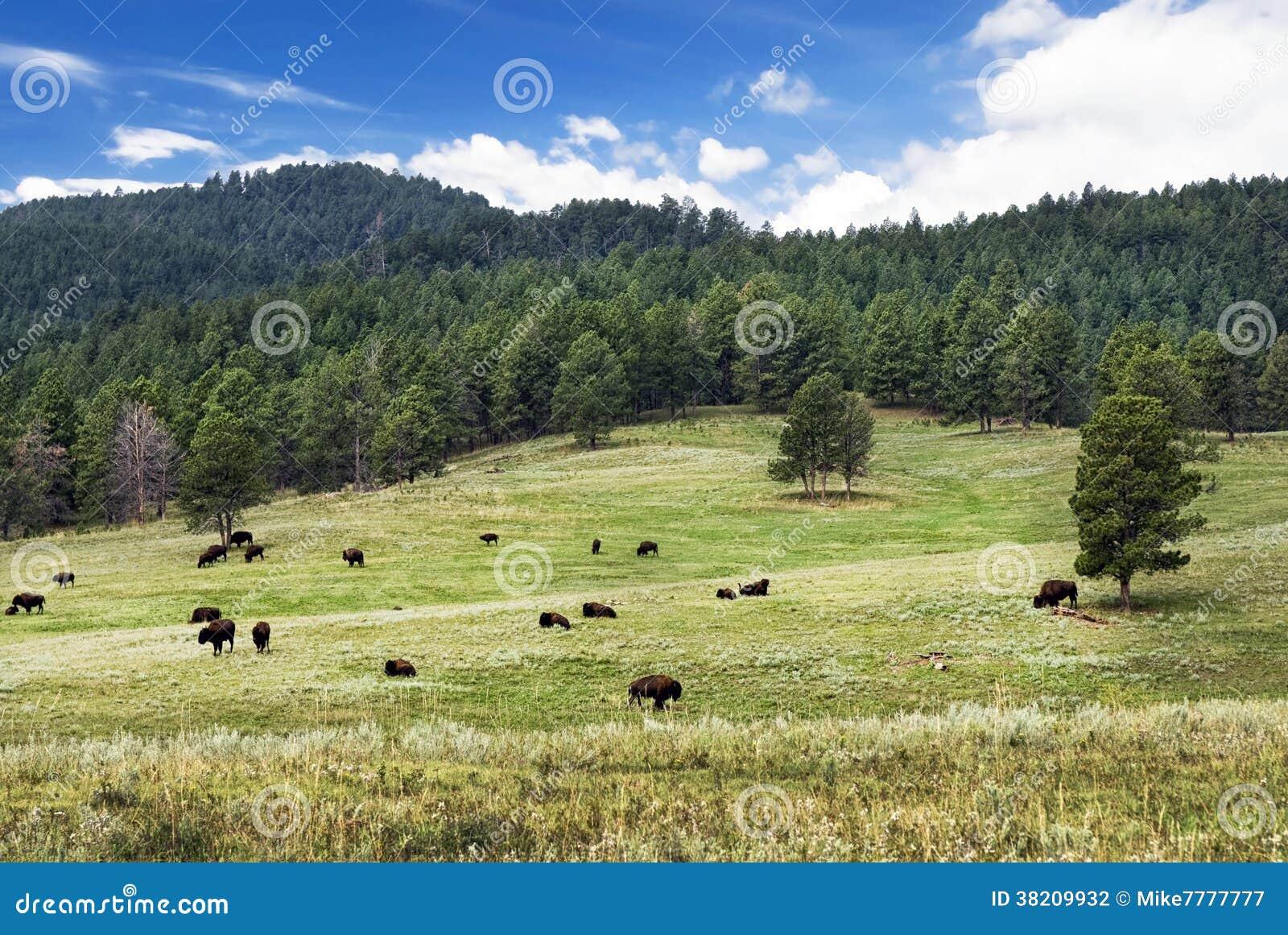 Flock av den amerikanska bisonen, Custer State Park, South Dakota, USA