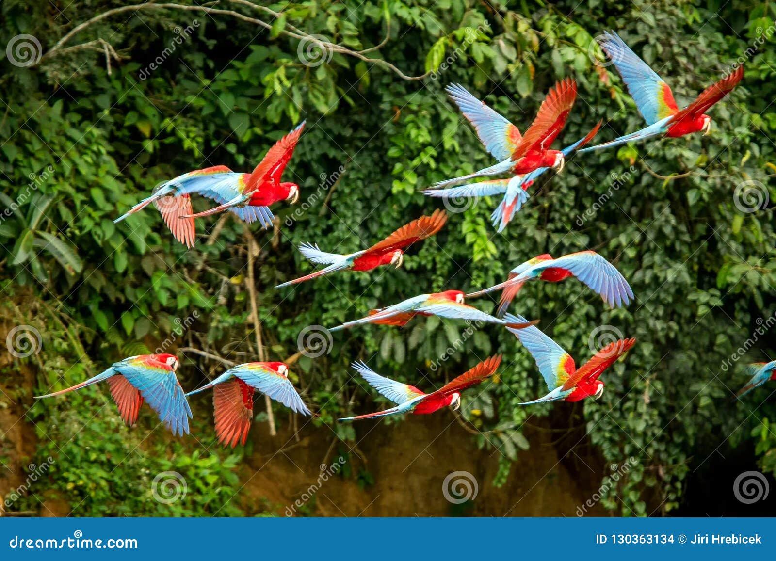Flock av den röda papegojan i flykten Araflyg, grön vegetation i bakgrund Röd och grön ara i den tropiska skogen, Peru