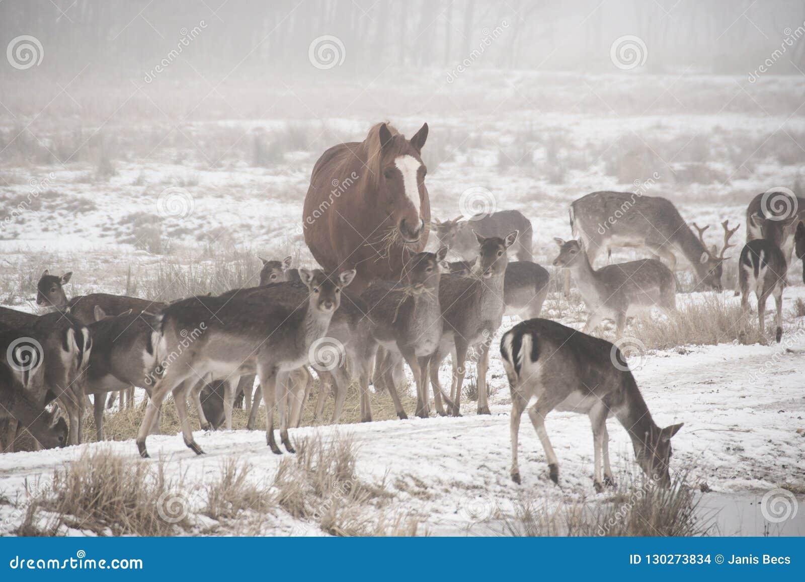 Flock av dovhjortDamadamaen som omkring går i den dimmiga vinterdagen som medföljs av den inhemska hästen