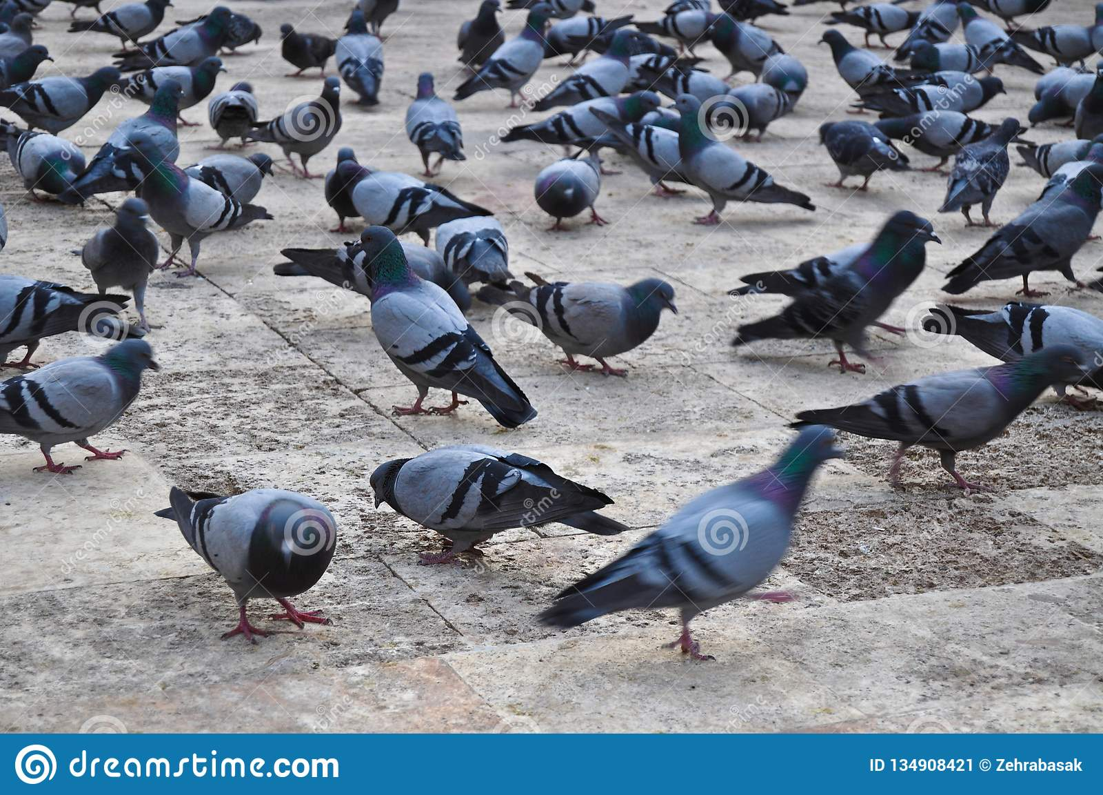 Flock av duvor