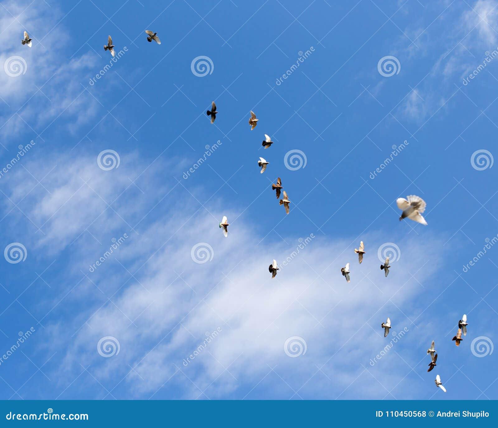 Flock av duvor på blå himmel