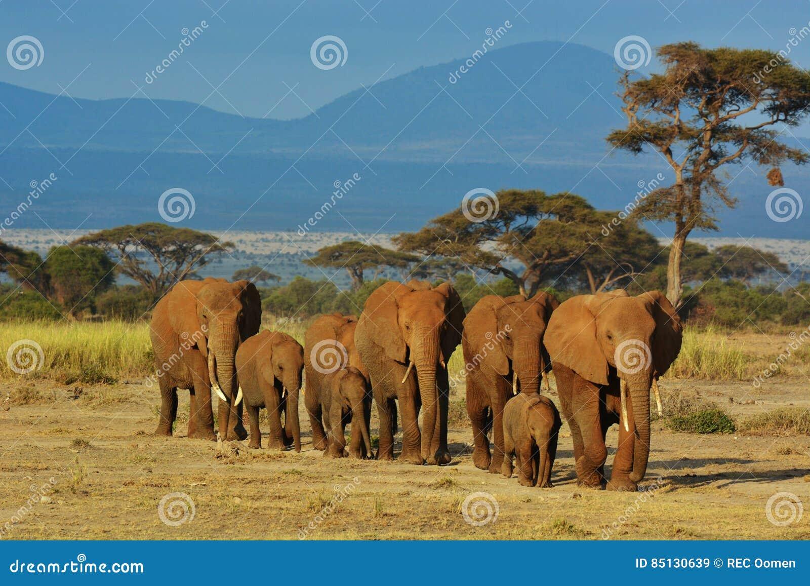Flock av elefanter