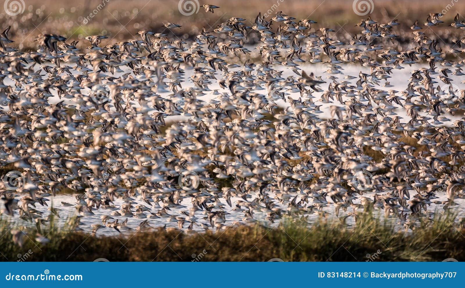 Flock av fåglar som flyger nära ett träsk
