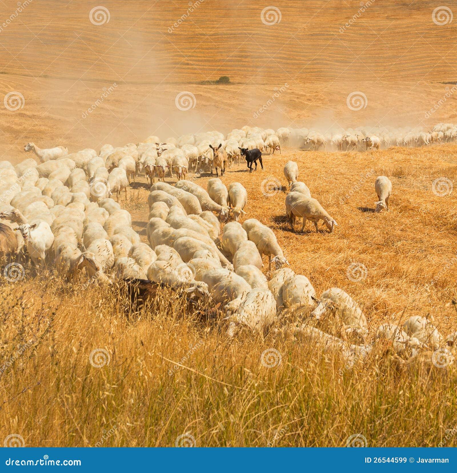 Flock av får i ett fält av Tuscany