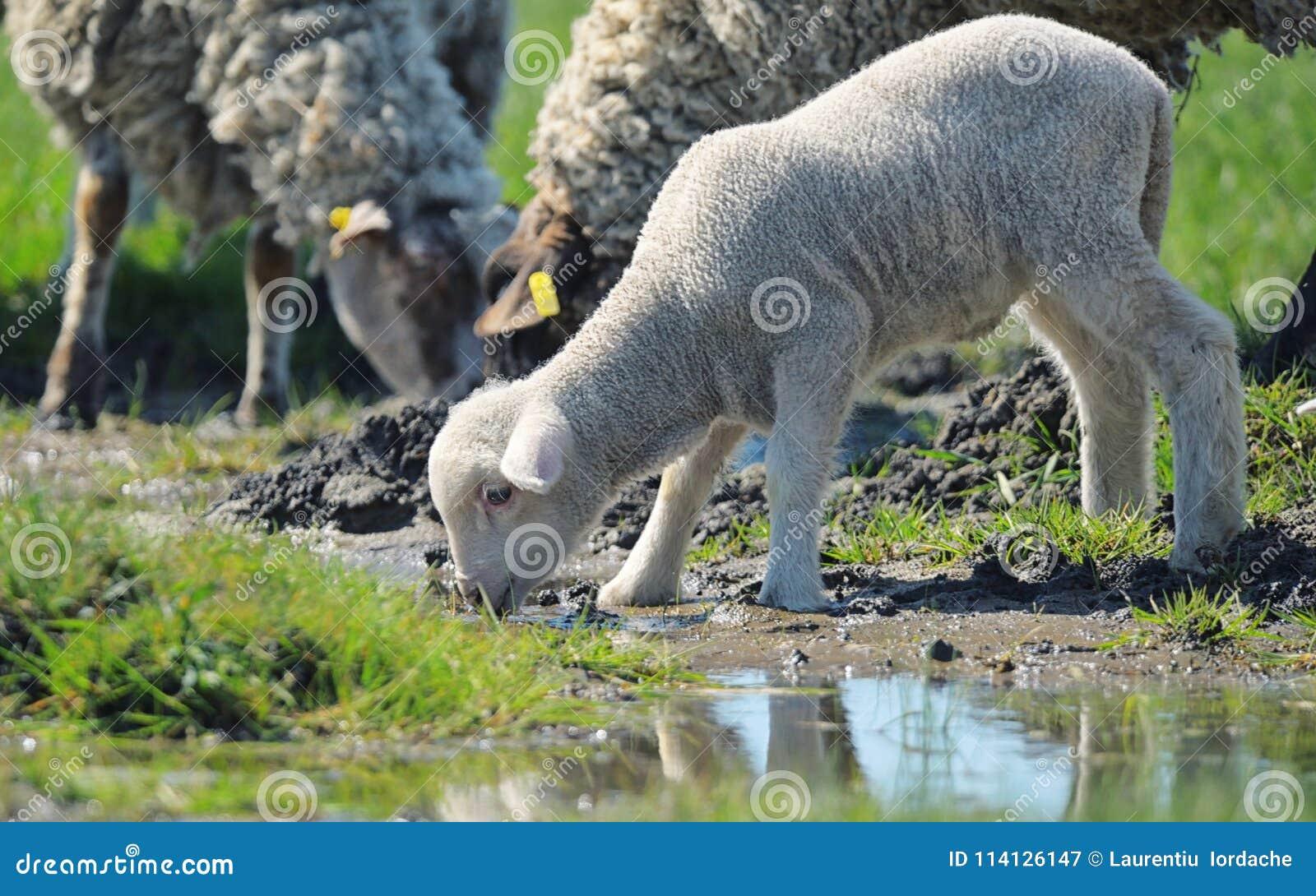 Flock av fårdricksvatten