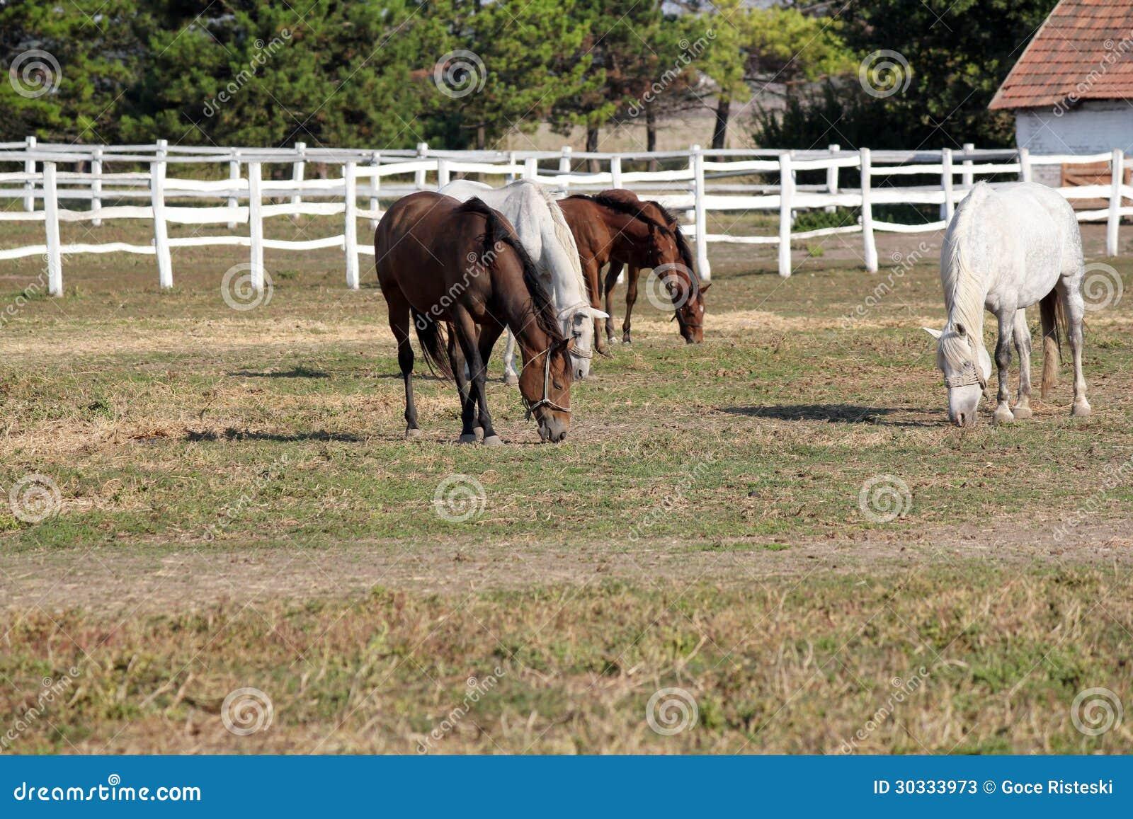 Flock av hästar i fålla