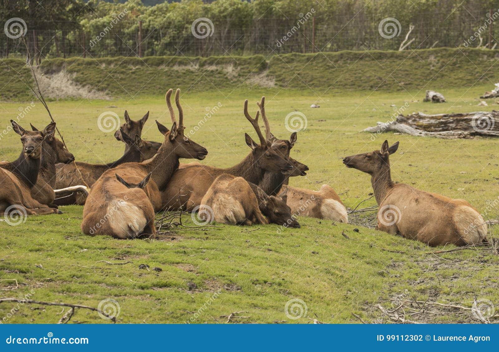 Flock av karibu i den Alaska sylten