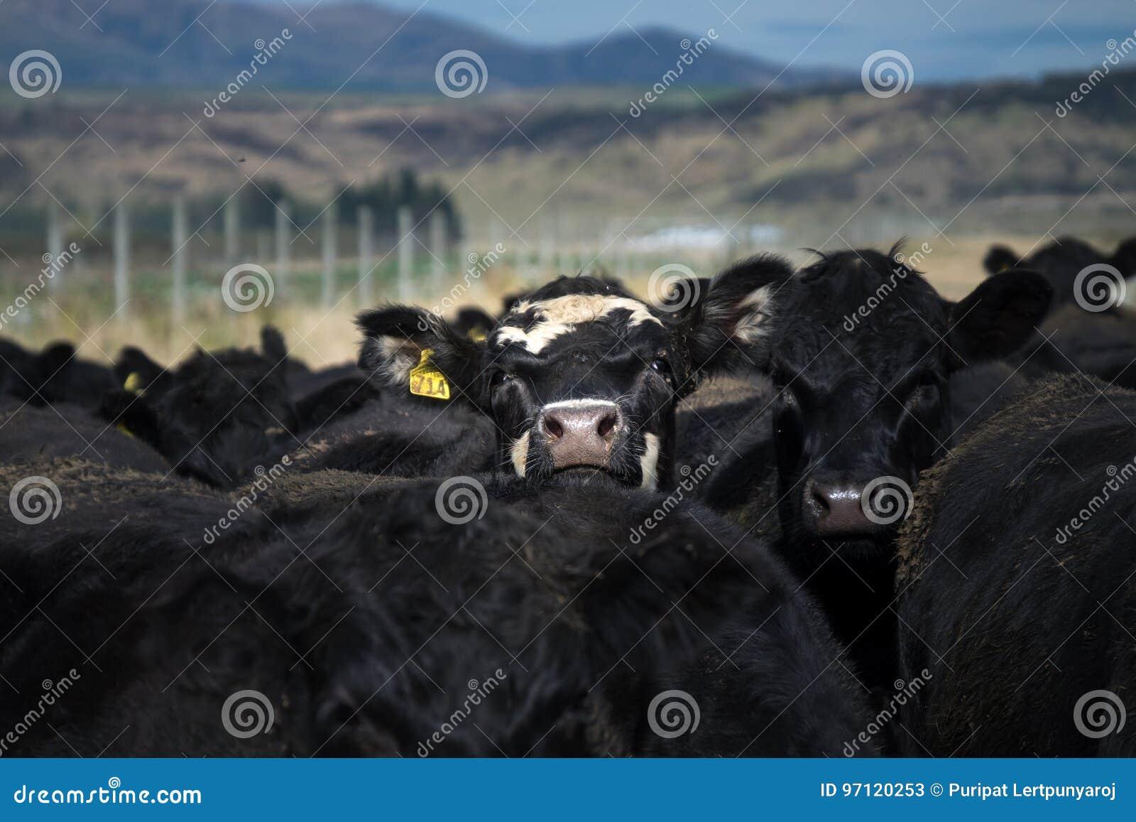 Flock av kon, Nya Zeeland