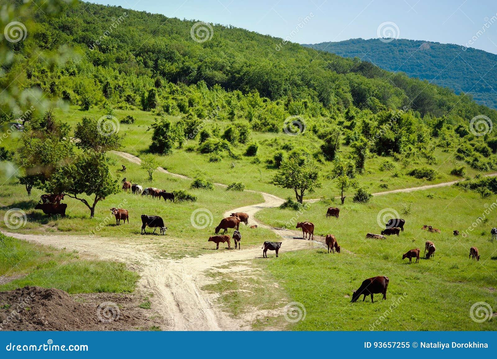Flock av kor Kor på sätta in Kor som betar på den gröna ängen