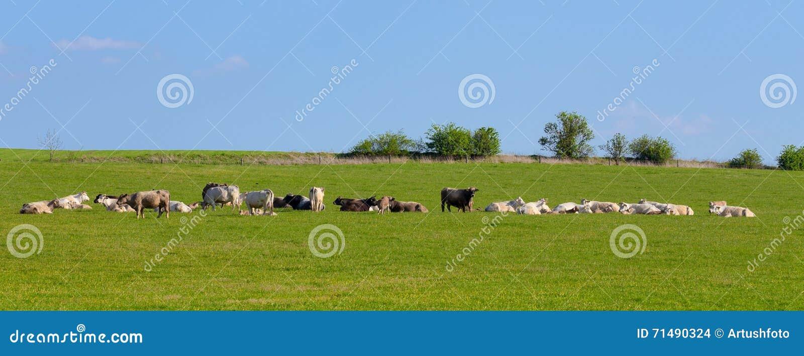 Flock av kor på vårgräsplanfältet