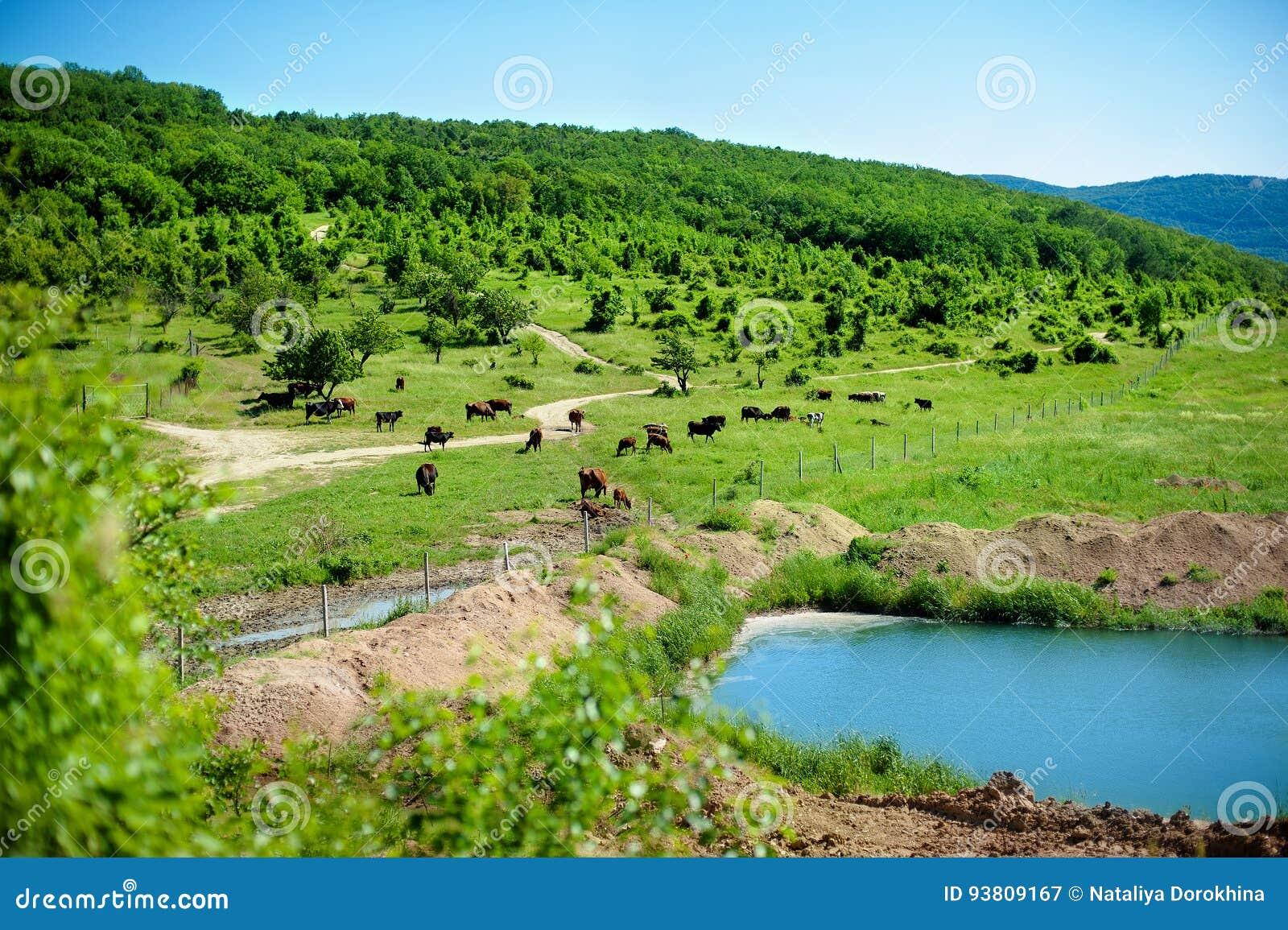 Flock av kor som betar på en grön äng nära sjön i kullarna på den soliga sommardagen Det pittoreska landskapet mejeri