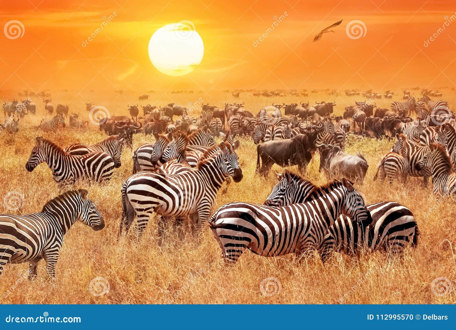 Flock av lösa sebror och gnu i den afrikanska savannet mot en härlig orange solnedgång Den lösa naturen av Tanzania