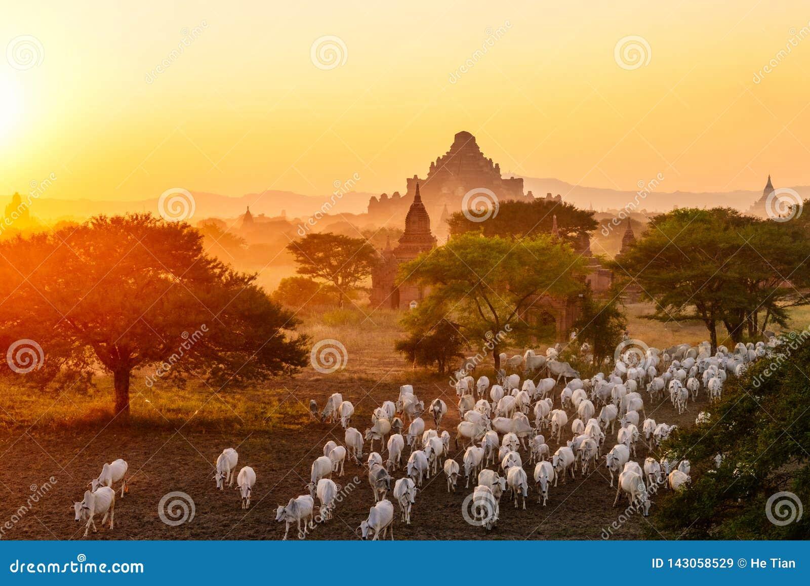 Flock av nötkreatur som flyttar sig bland pagoder i Bagan, Myanmar