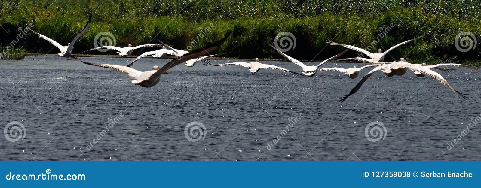 Flock av pelikan i Donaudelta