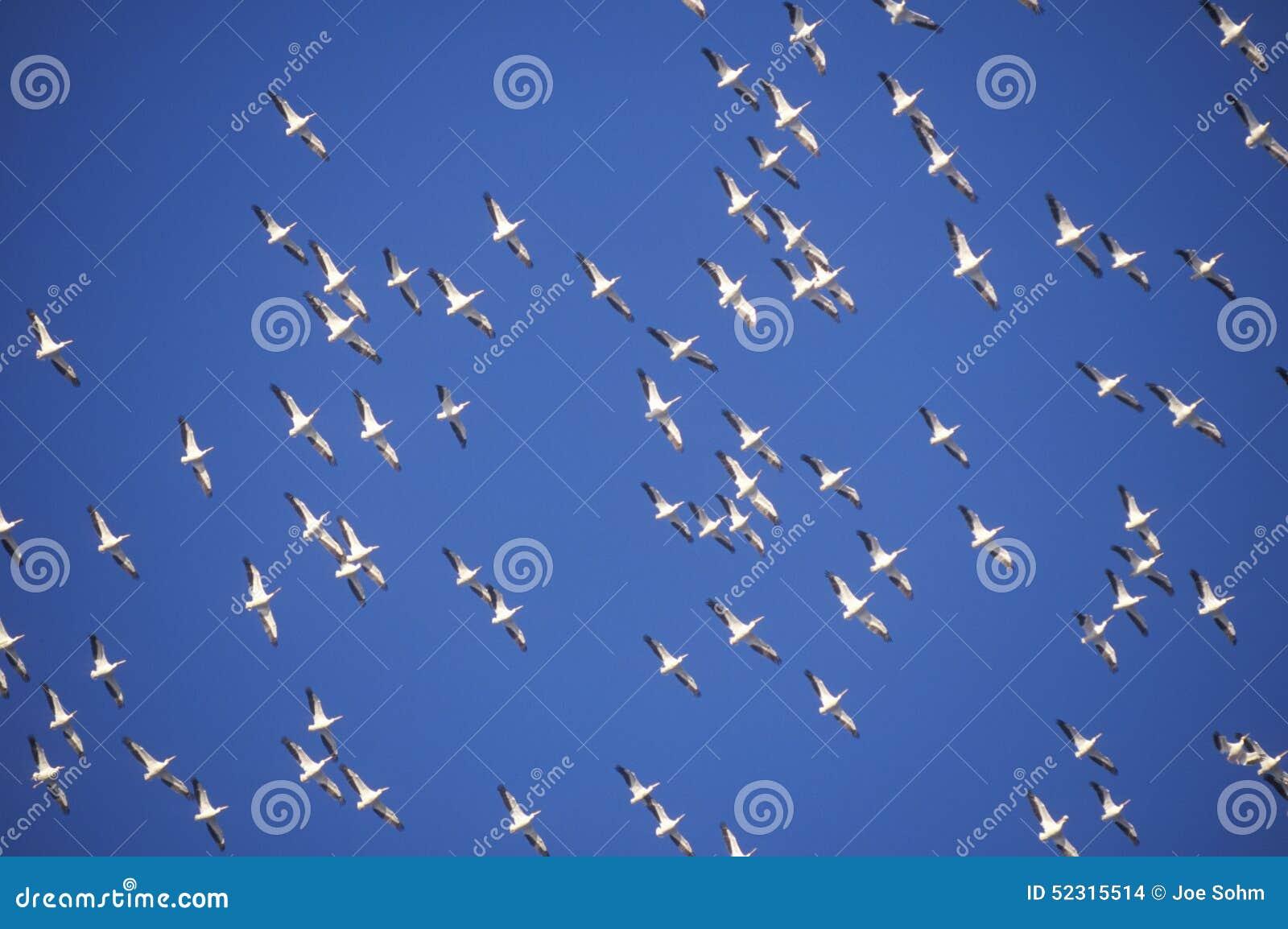 Flock av pelikan i flykten över Pensacola, golfö FL