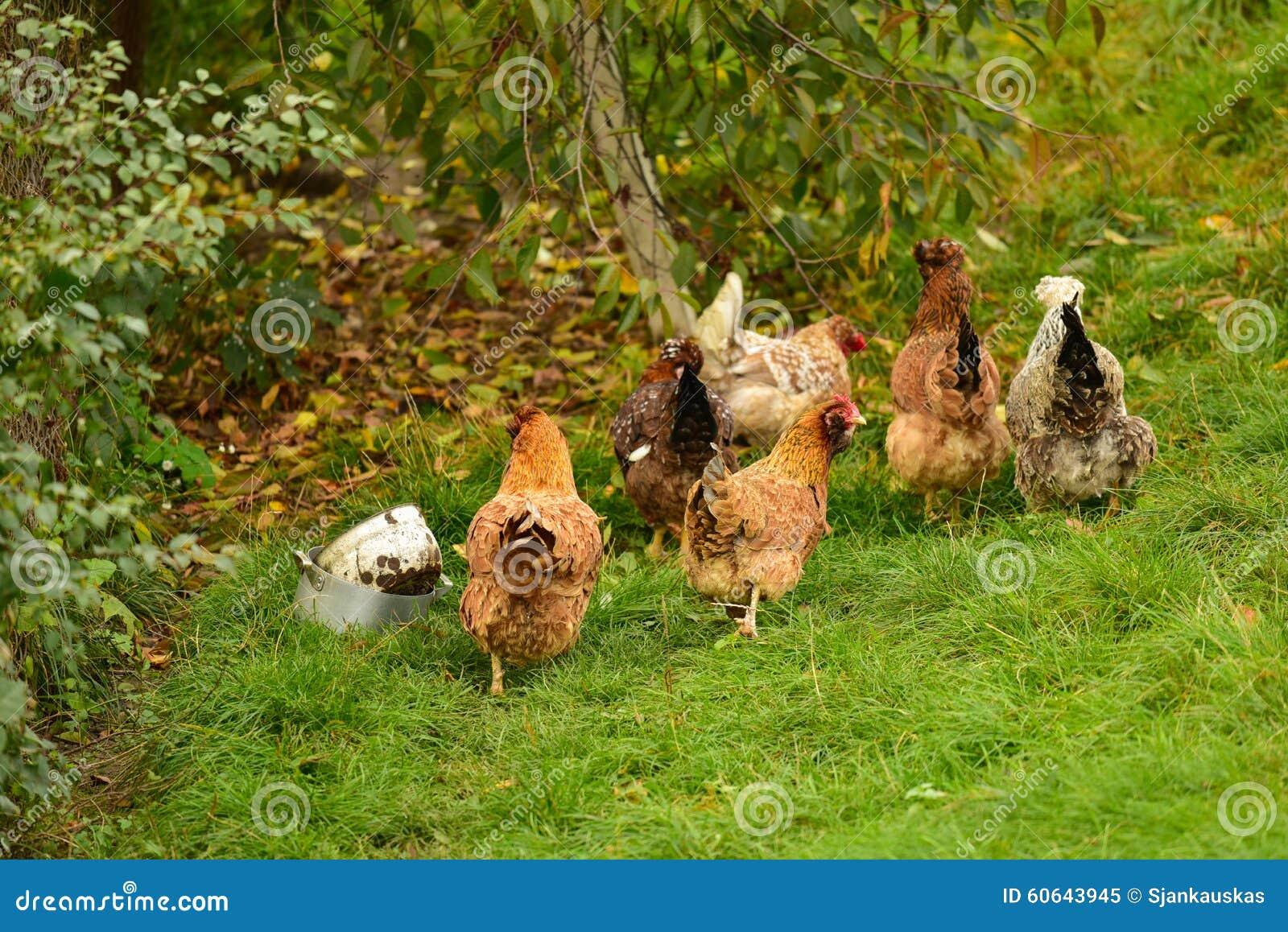 Flock av utomhus- hönor