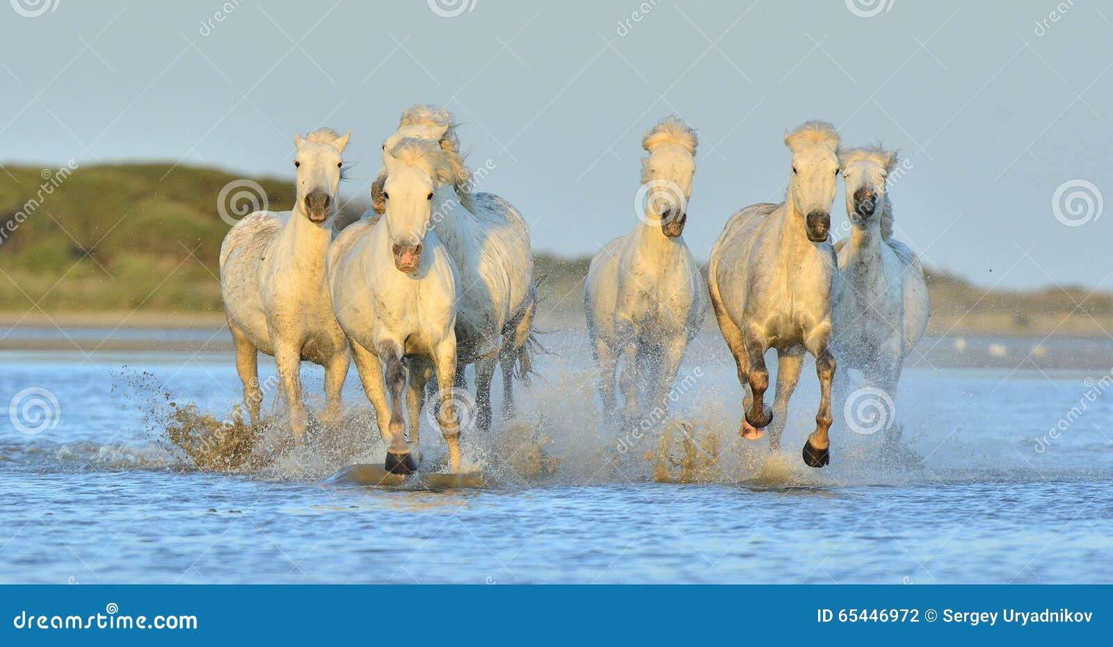 Flock av vita Camargue hästar som kör på vattnet