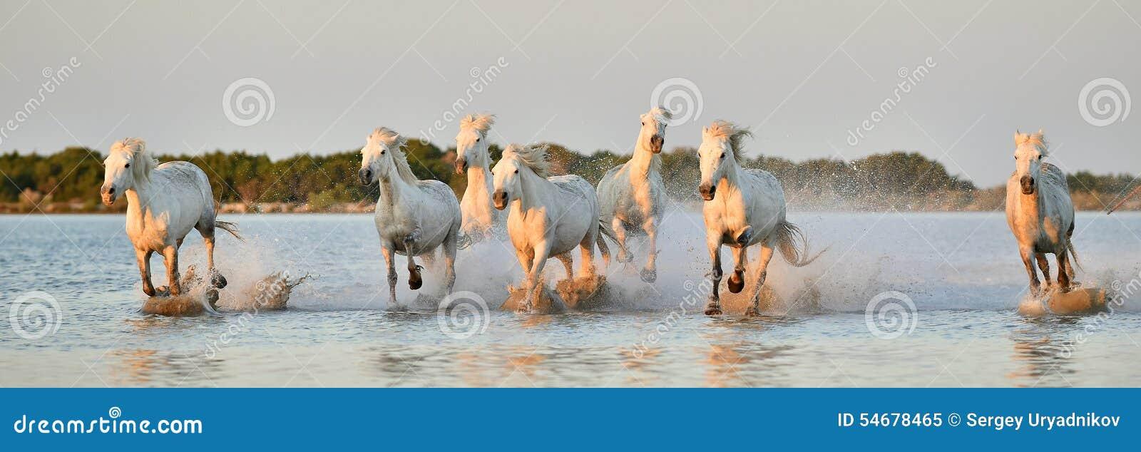 Flock av vita Camargue hästar som kör till och med vatten