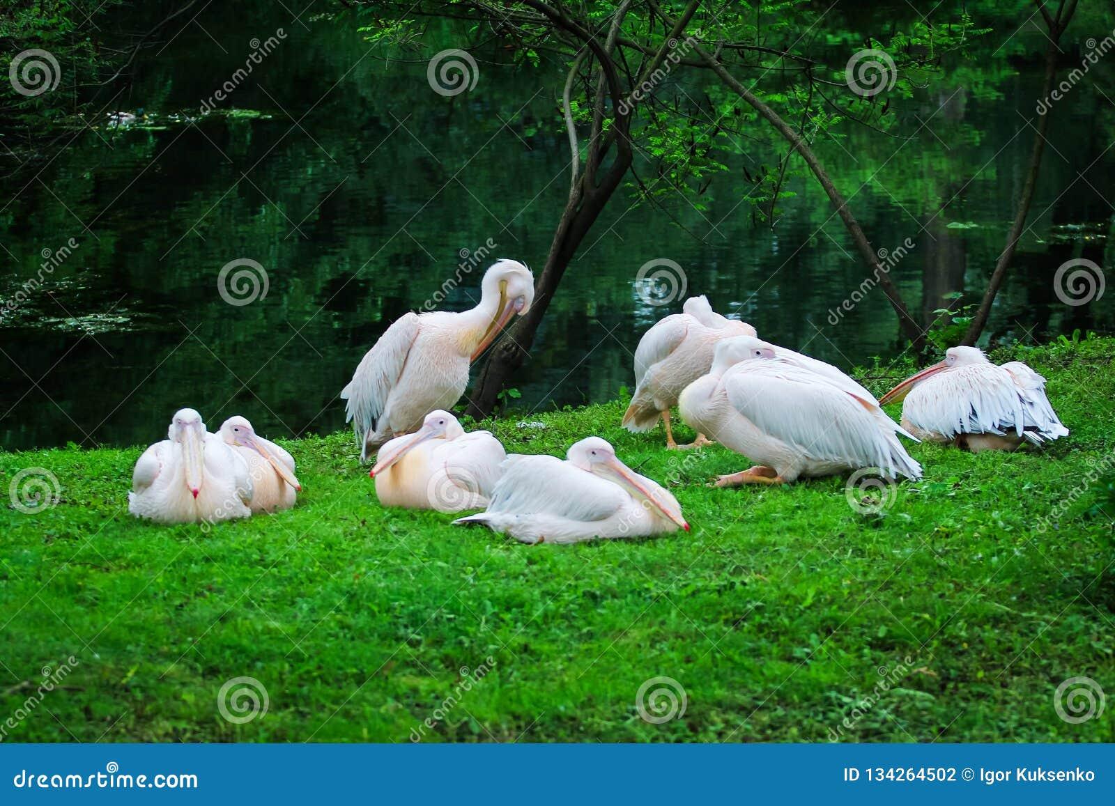 Flock av vita stora pelikan som vilar på kusten