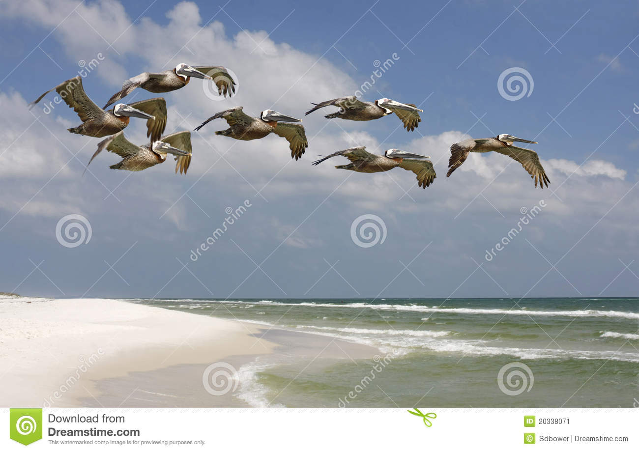 Flock of Brown Pelicans Flying over Florida Beach