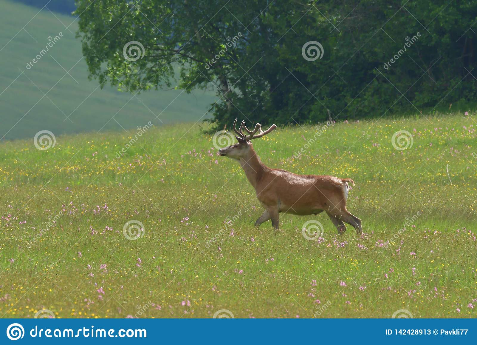 Flock of Deer stag  with growing antler grazing the grass