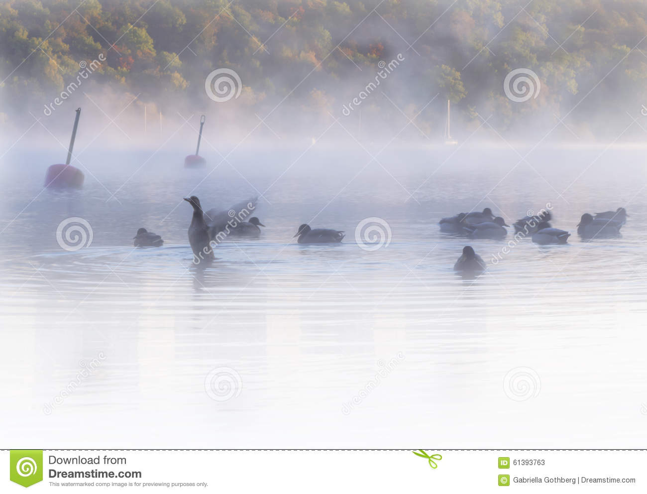 Flock of ducks in misty, dreamlike waters early dawn. Colorful autumn forest in background.