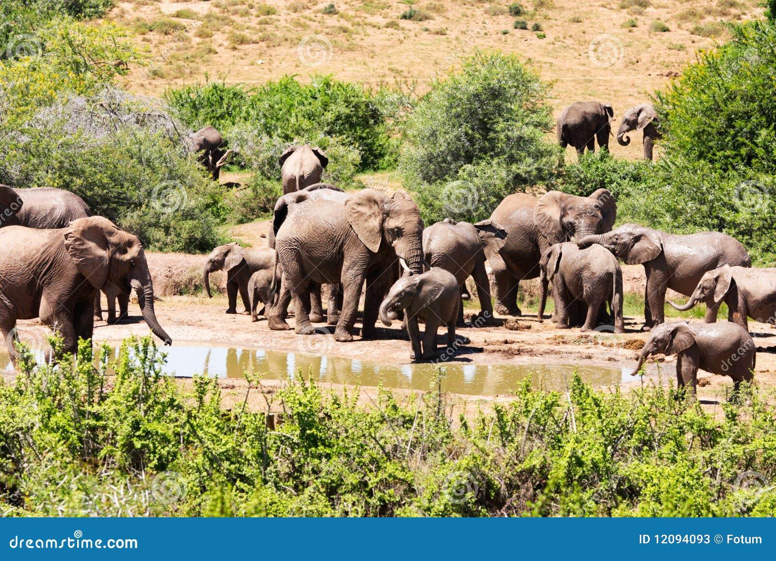 Flock of elephants