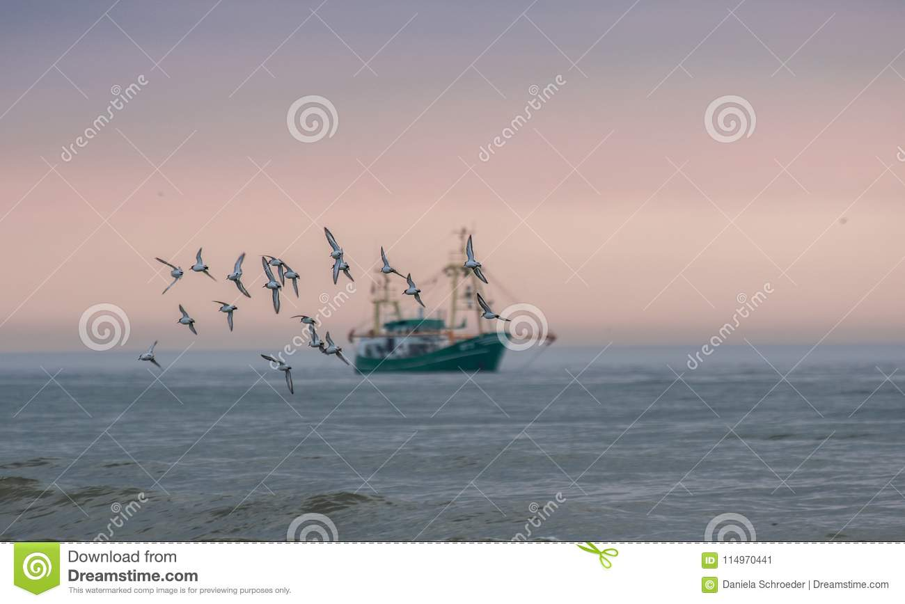 Flock/group of seagulls which are in focus flying at the sunset sky with a fishing boat in the background blurred/out of focus