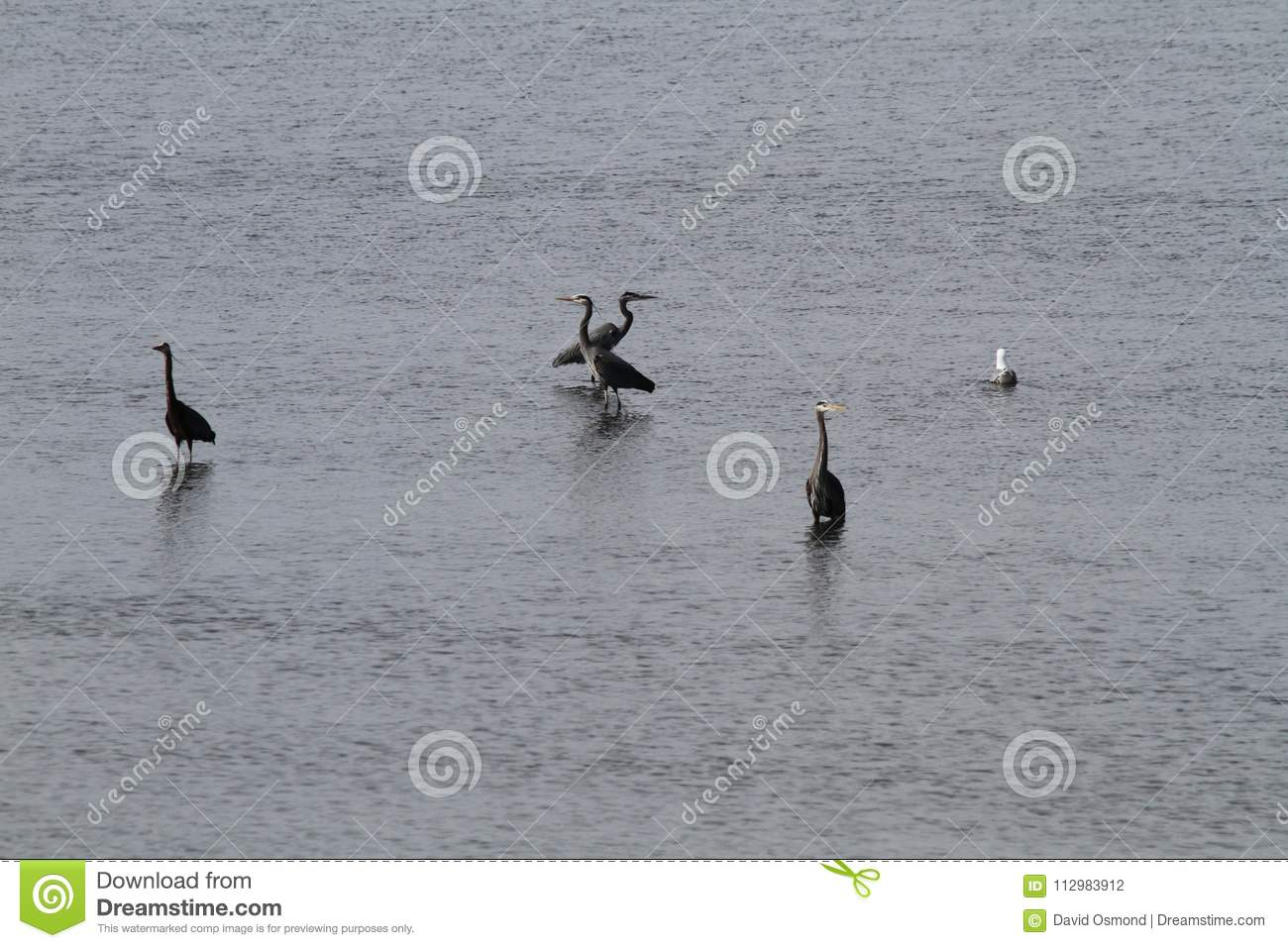 A flock of herons standing in shallow water