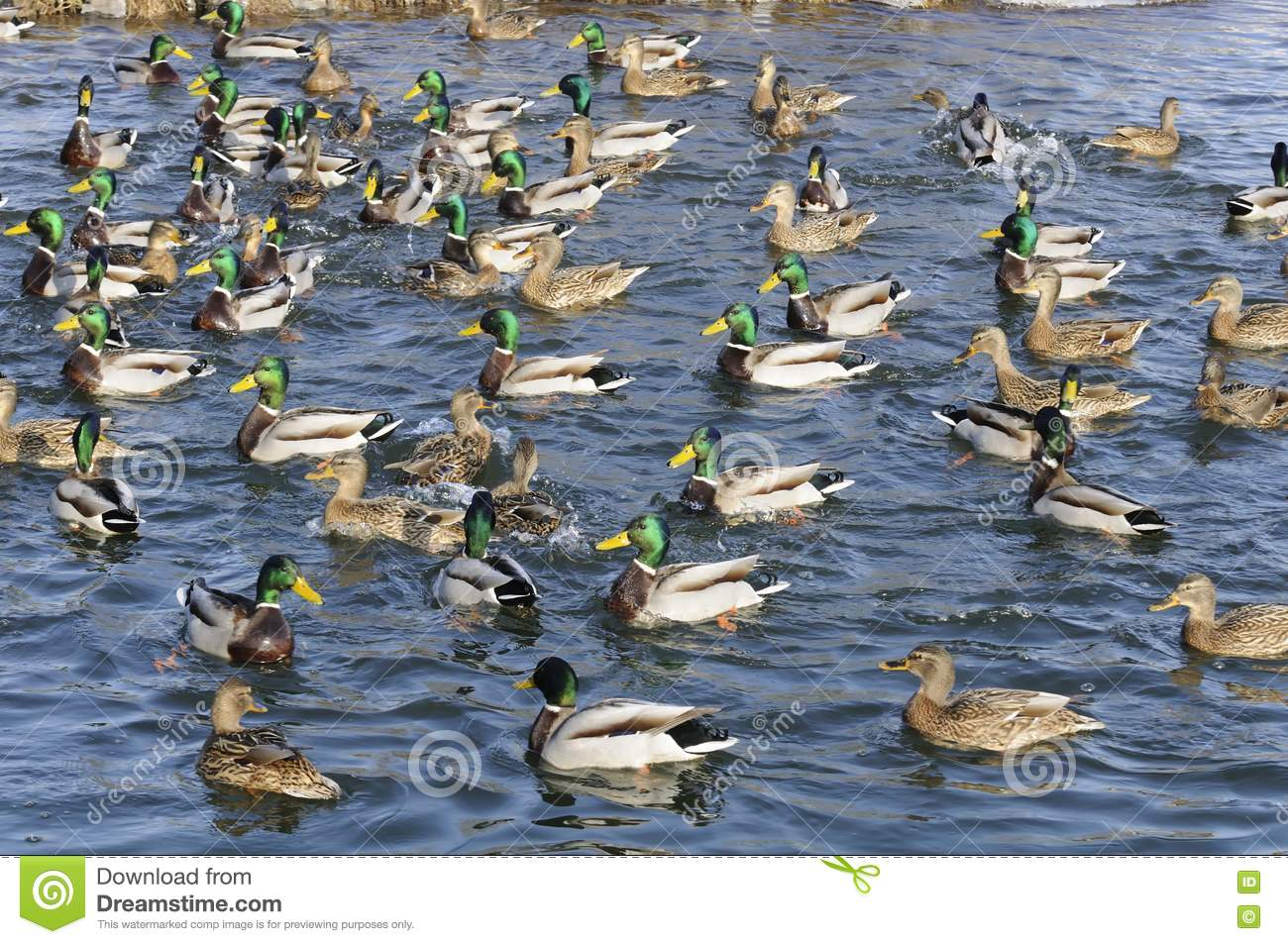 ... And Drakes In The Lake Royalty Free Stock Photos - Image: 23953068