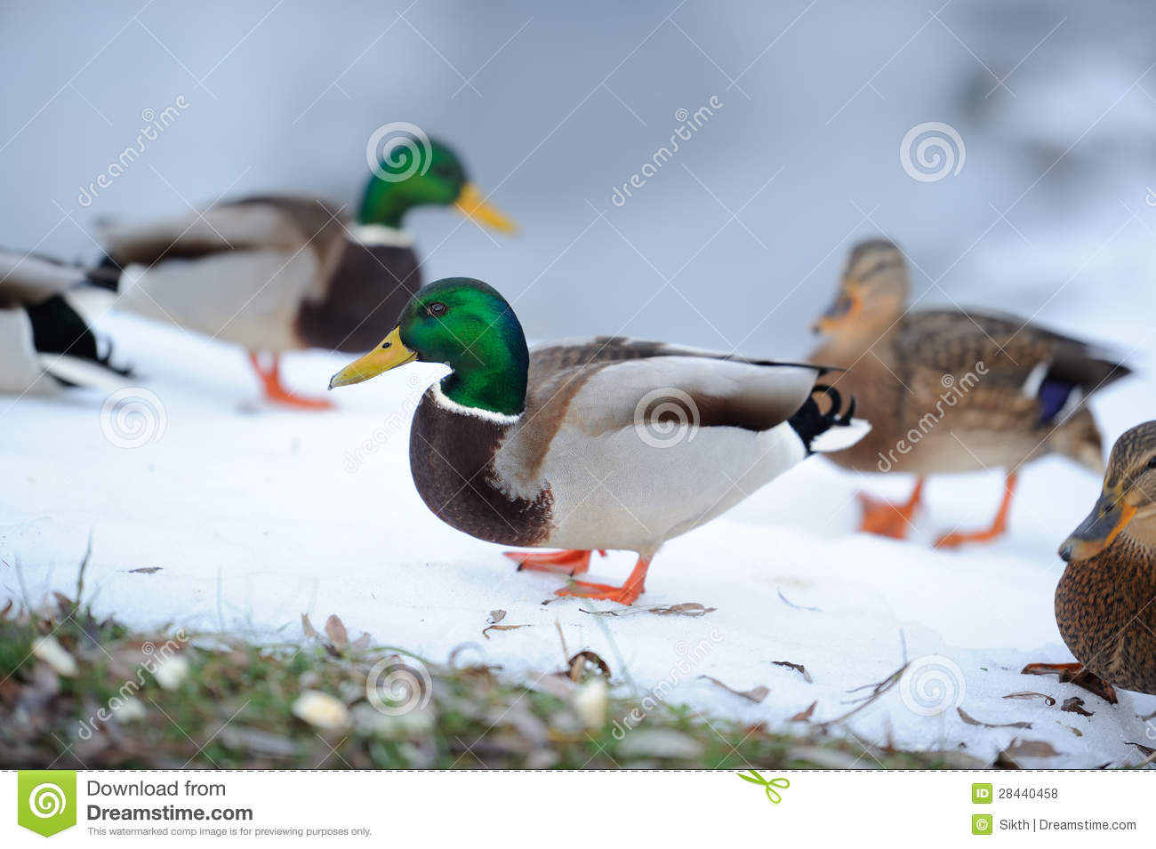 how to keep ducks in the winter