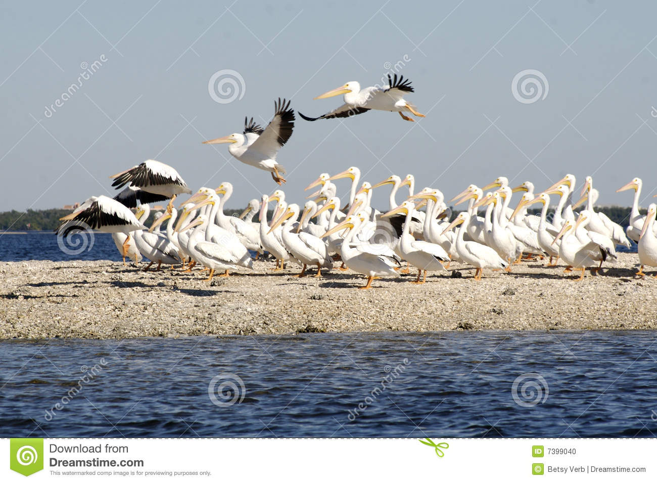 Flock of Pelicans by coast stock photo. Image of white ...
