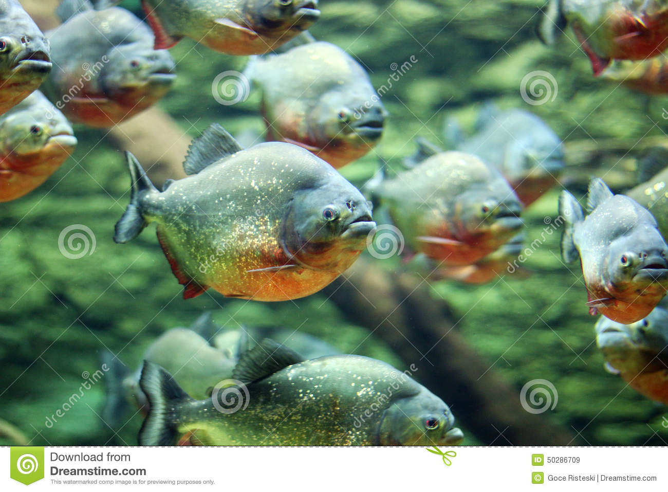 Flock of piranhas swim