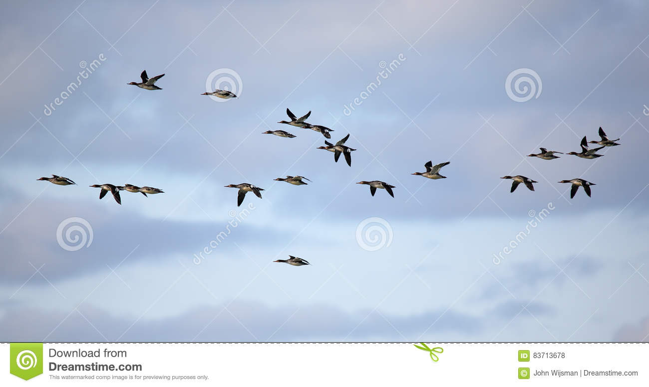 Flock Of Red-breasted Mergansers Flying Against A Cloudy Sky Stock Photo
