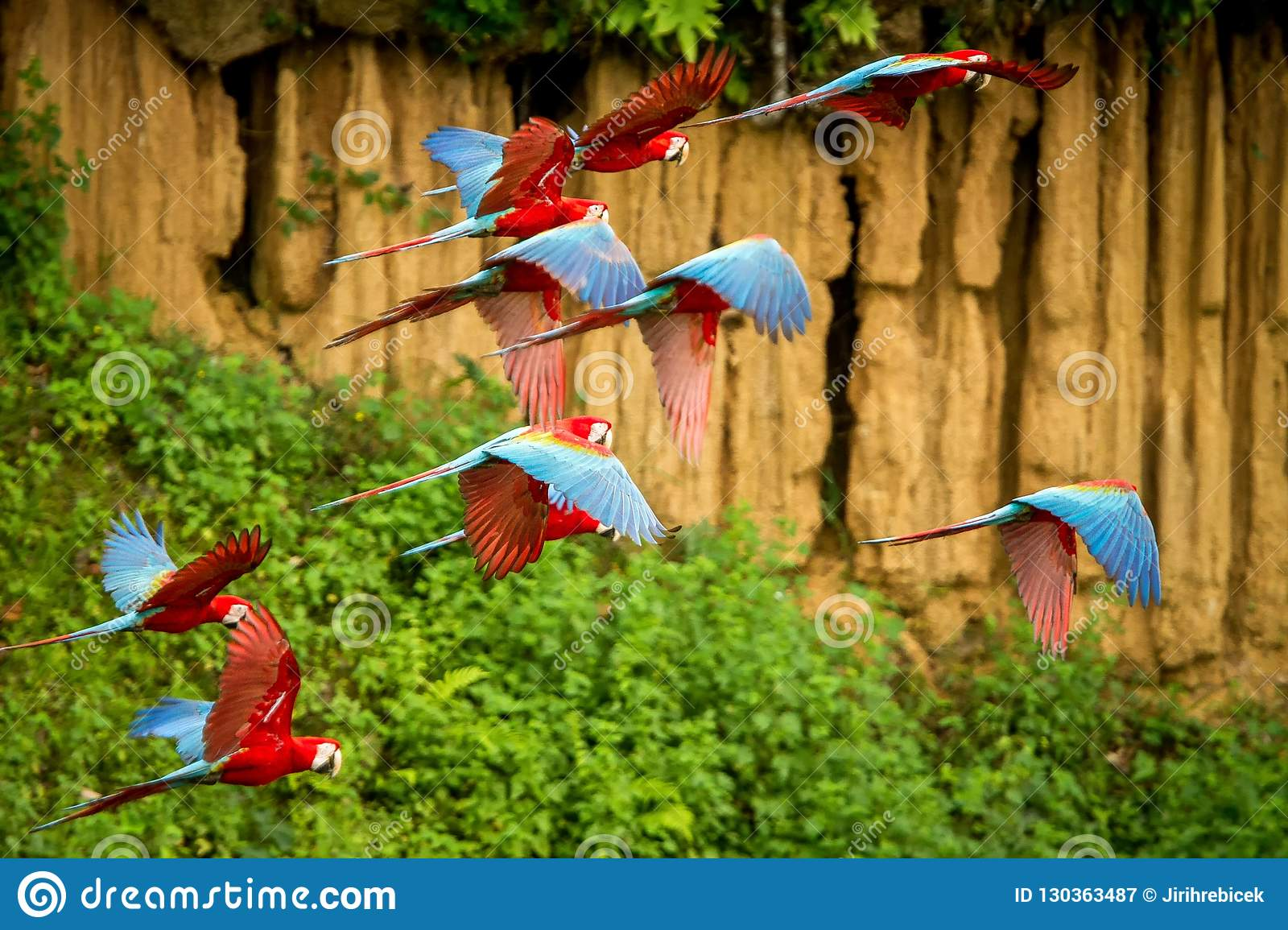 Flock of red parrot in flight. Macaw flying, green vegetation in background. Red and green Macaw in tropical forest, Peru