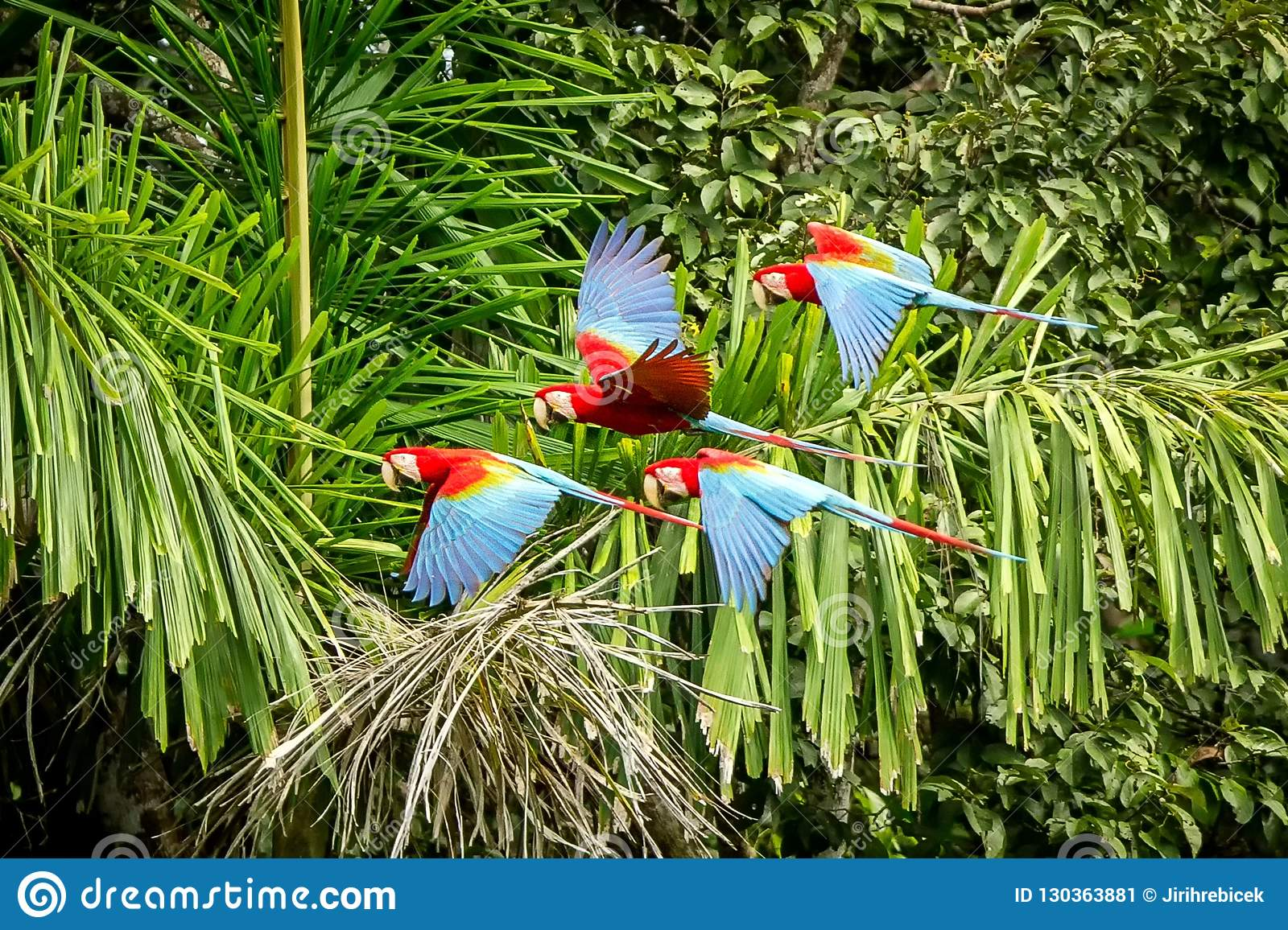 Flock of red parrot in flight. Macaw flying, green vegetation in background. Red and green Macaw in tropical forest, Peru,Wildlife