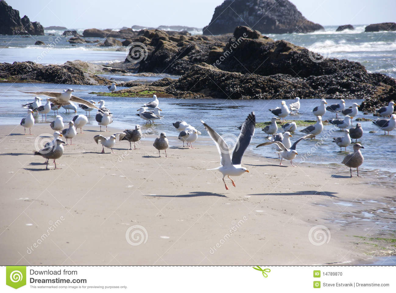 Flock Of Seagulls On Beach Stock Photo - Image: 14789870