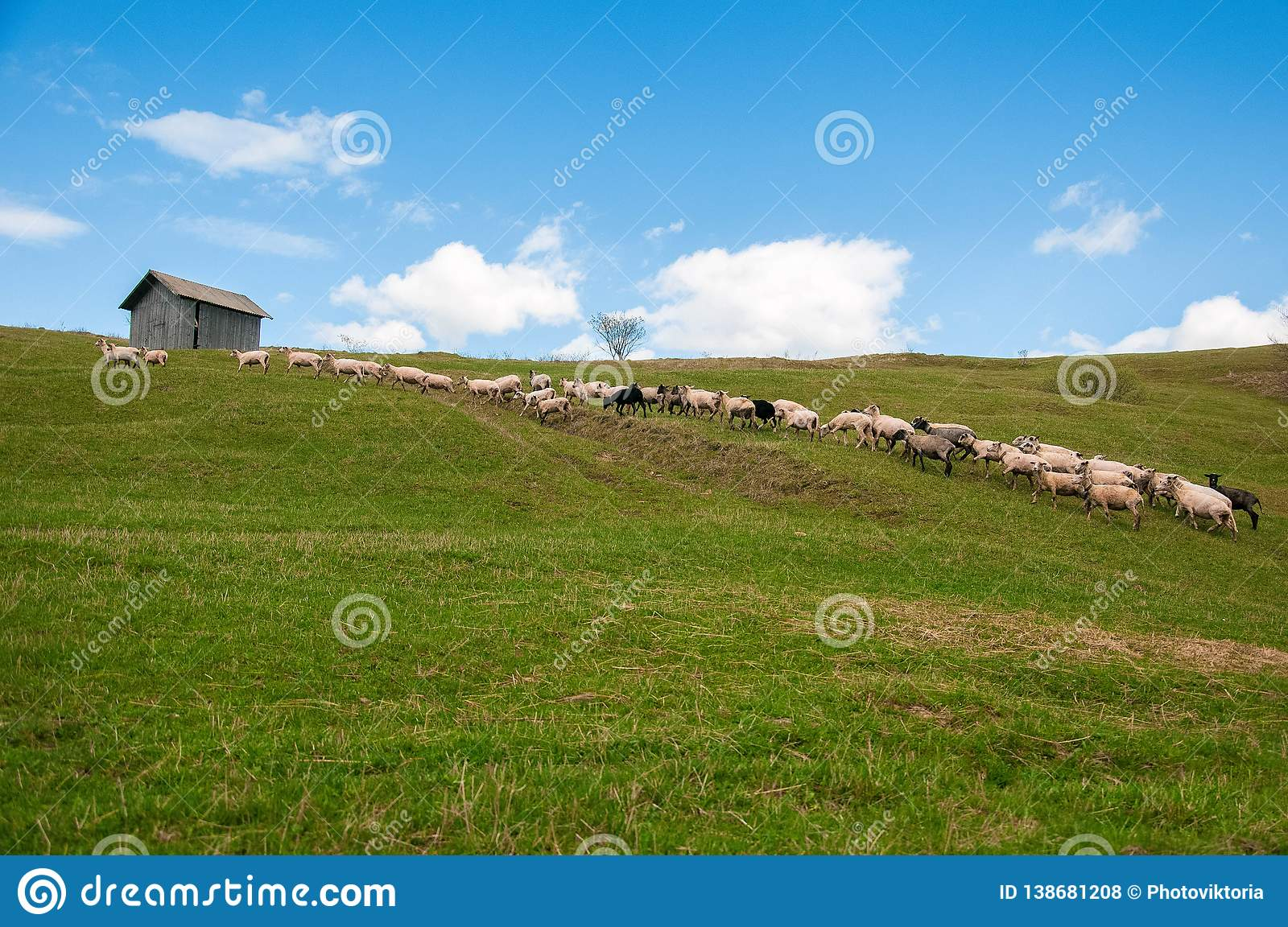 Flock of sheep in the carpathians.