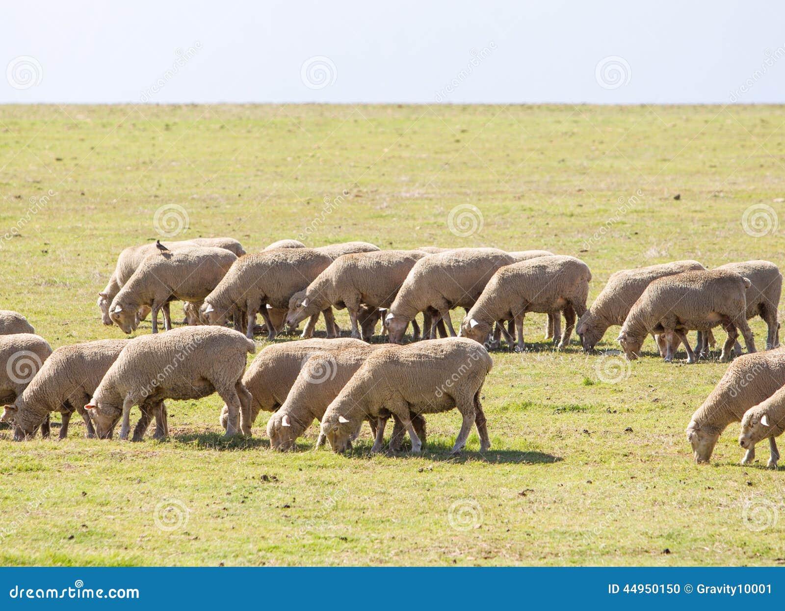 Peninsular Desert Bighorn Sheep Behavior