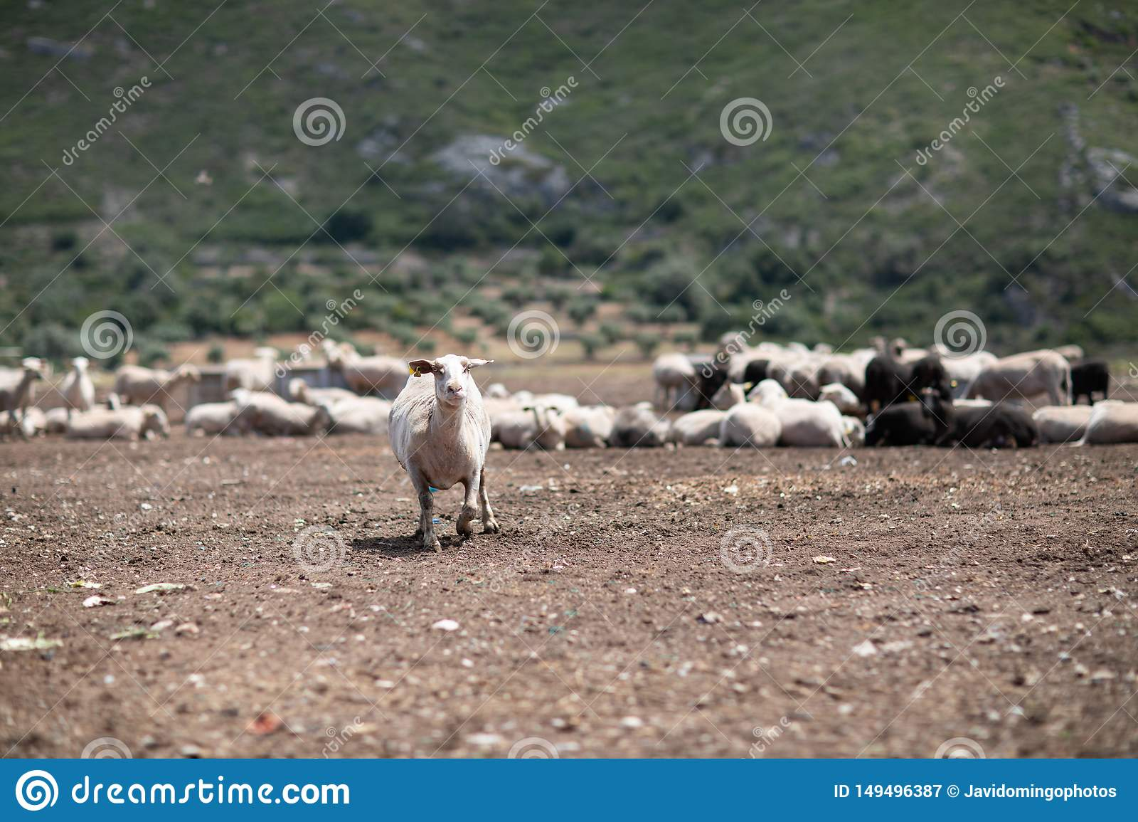 Flock of sheep in the field