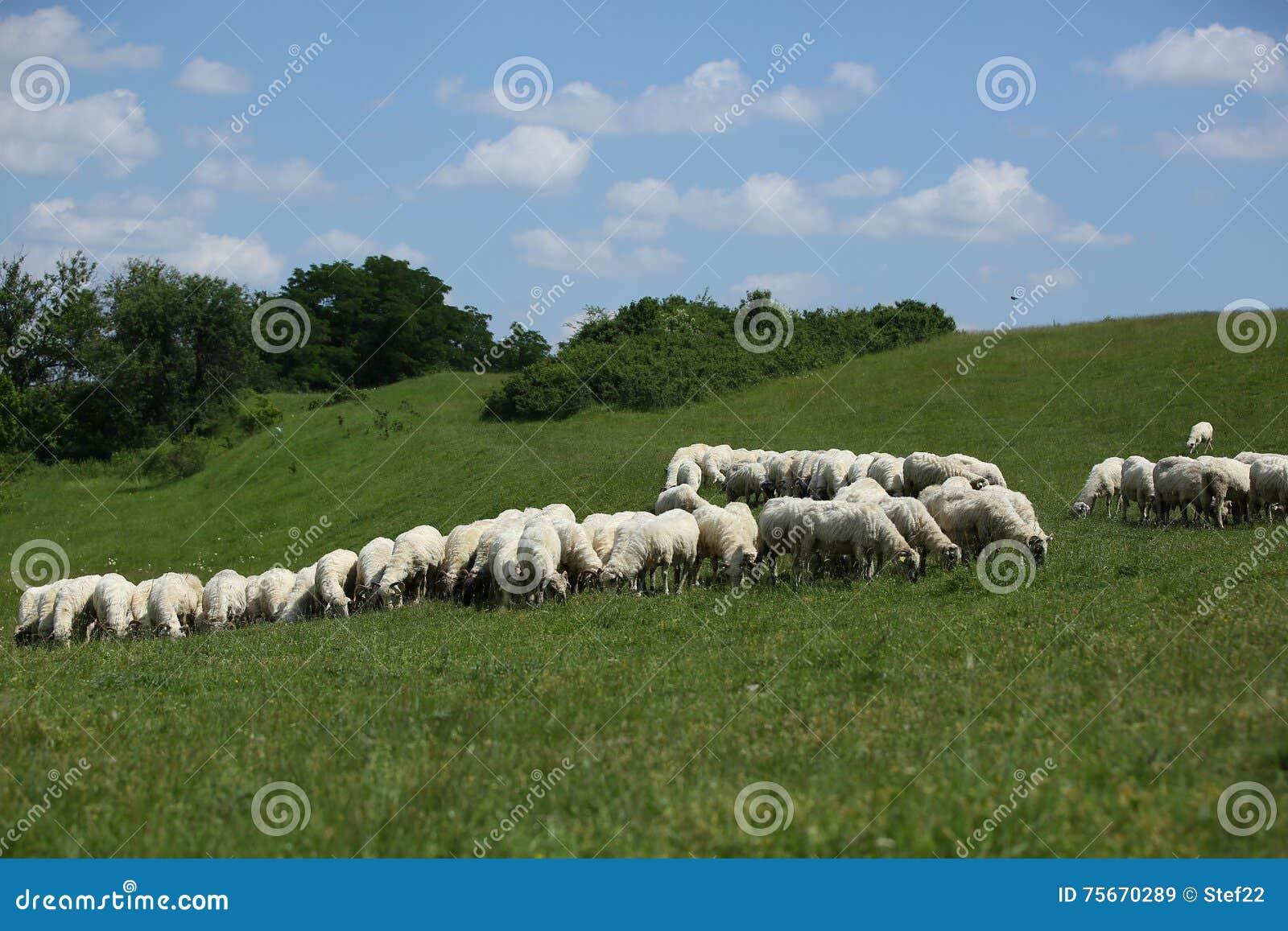Download Flock of sheep grazing stock image. Image of farming - 75670289