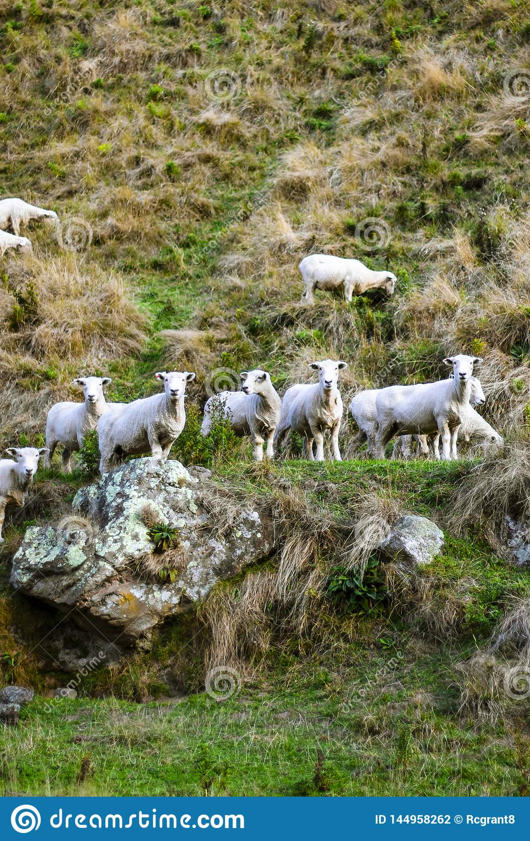 Flock of sheep on rocky mountain. Group of sheep on grass field on countryside farm.